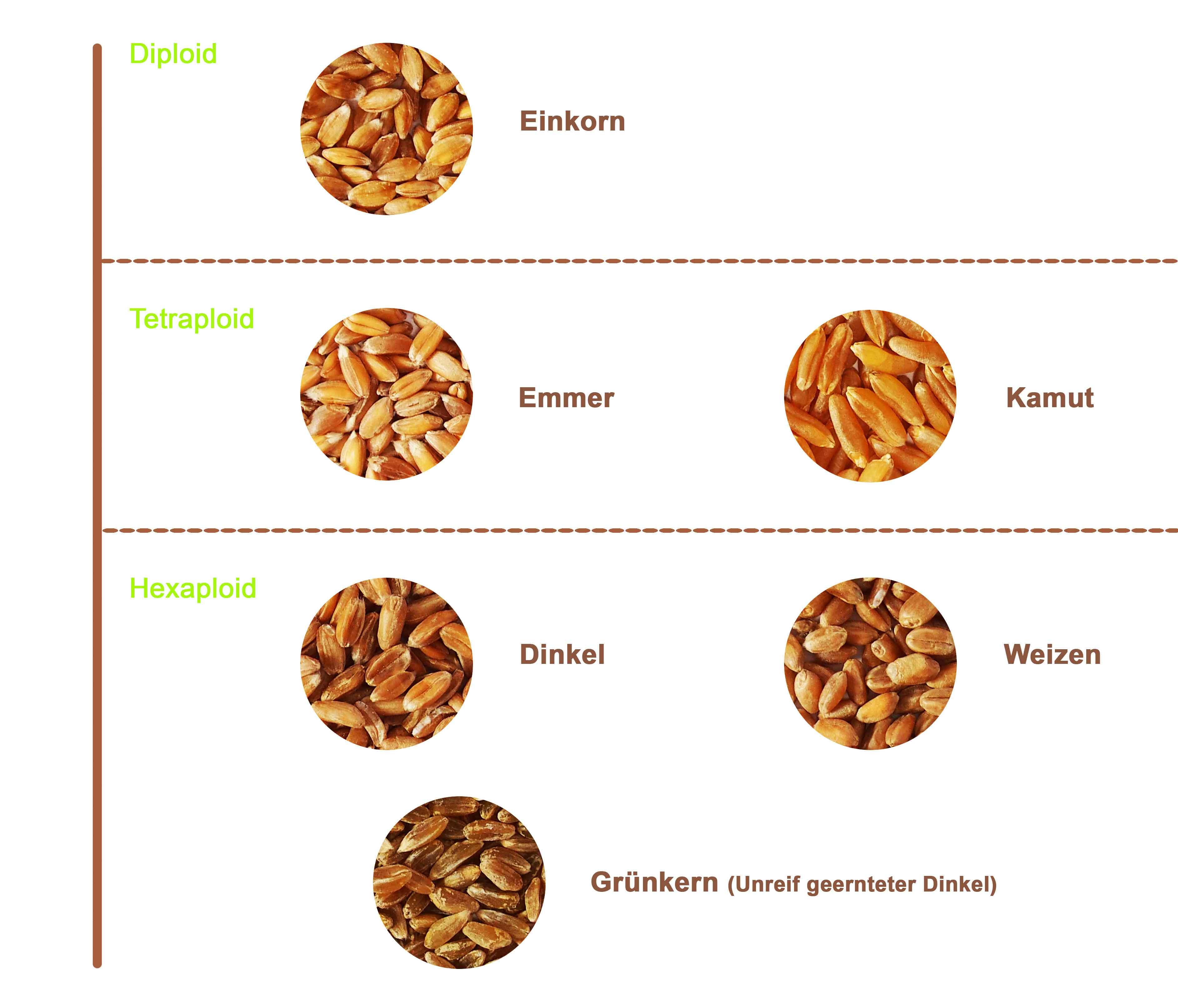 Die Weizenarten im Überblick dargestellt