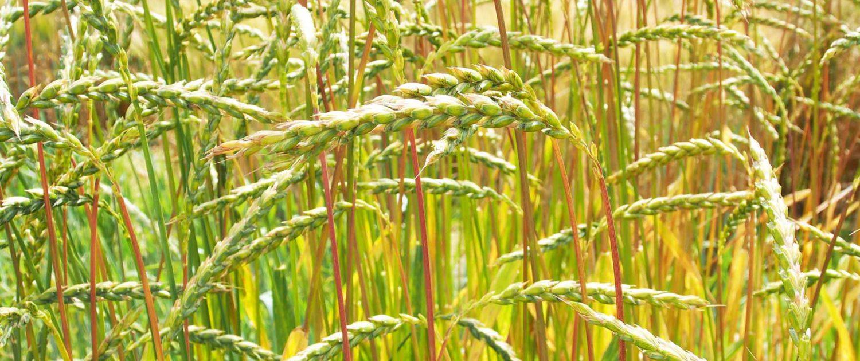 Getreideart Dinkel